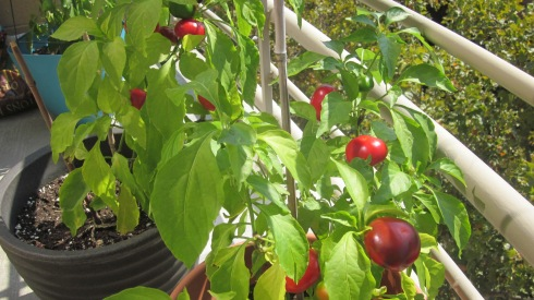 Some of the cherry pepper crop.